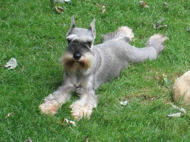 Miniature Schnauzer Hair Styles: Silvercastle Boarding, Grooming And Training Grooming